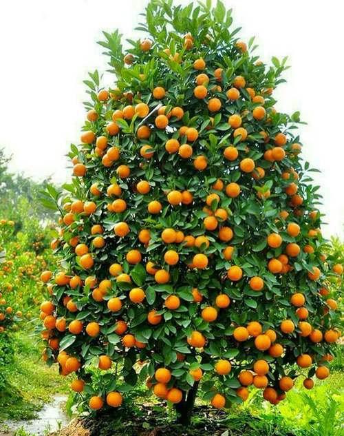 خرید کود پرتقال تامسون