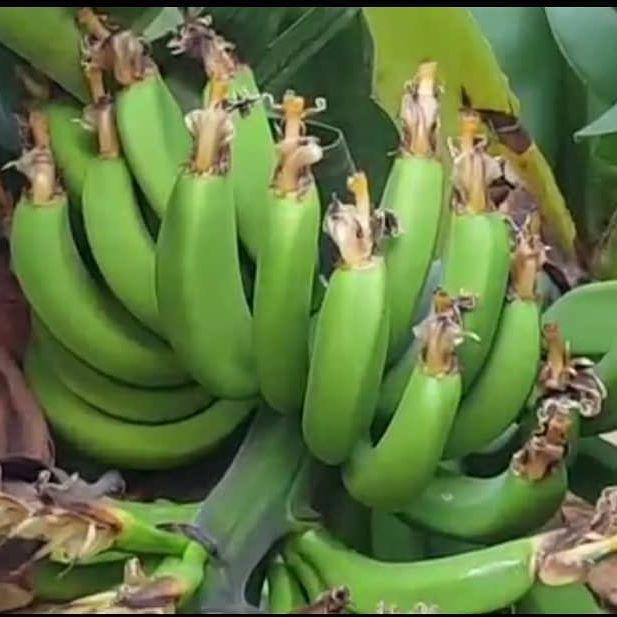 خرید کود با کیفیت برای درخت موز