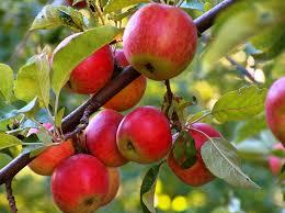 خرید و فروش کود درخت سیب