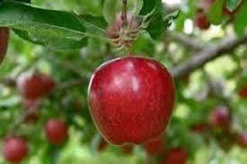 مناسب ترین کود درخت سیب