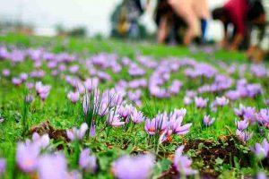 خرید و فروش کود زعفران