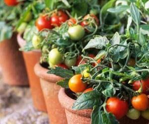 کود مخصوص گوجه فرنگی