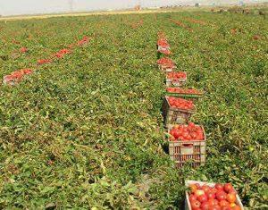 کود اختصاصی گوجه فرنگی