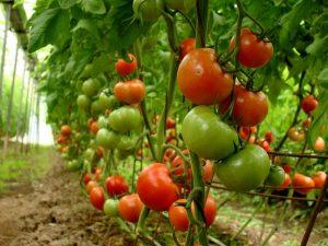 قیمت کود مایع مخصوص گوجه فرنگی