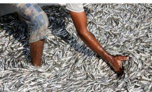 امولسیون ماهی