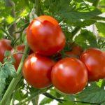 کود گوجه و خیار